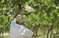 Llaman a productores agrícolas a resguardarse ante aumento de Lobesia botrana