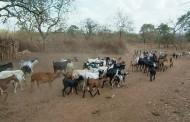 Estudio advierte: Forraje natural de la Región podría alimentar un máximo de 300 mil cabezas de ganado caprino