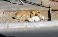 Investigan masiva muerte de perros en localidad de Ovalle