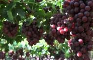 En Monte Patria realizan seminario para productores de uva de mesa