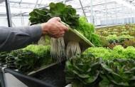 Punitaquinos adquieren técnicas de cultivo hidropónico de hortalizas