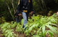 Decomisan más de 300 plantas de marihuana