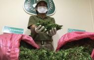 Golpe al tráfico: decomisan 2.735 plantas vivas de cannabis sativa