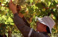 Piden medidas para impulsar empleo en Monte Patria por crisis de uva Flame