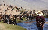 Con casi 150 mil cabezas de ganado caprino, crianceros de la región participa de las veranadas