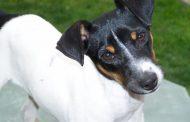 La pregunta que divide: ¿Se debe amputar la cola a los perros?