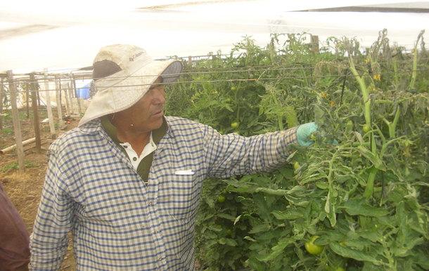 Agricultores limarinos afectados por heladas podrán reactivar sus producciones