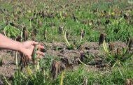 Heladas causan desastre agrícola a productores de Tamaya