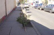 Vándalos destruyen arbolitos de céntrica calle