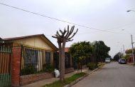 Detectan árboles mutilados en la vía pública de Ovalle