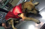 Nueva denuncia: Salvan a perro de morir  envenenado por desconocidos