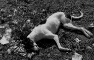 Denuncian envenenamiento de perros en Ovalle
