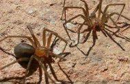 ¡CUIDADO!! Las altas temperaturas hacen salir a las arañas de rincón