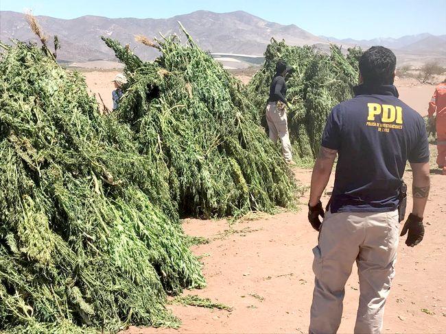 Más de 4.500 plantas de marihuana incauta la PDI en sectores rurales de Ovalle
