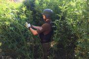Más de 3 mil plantas de marihuana encuentran ocultas en quebrada de Combarbalá