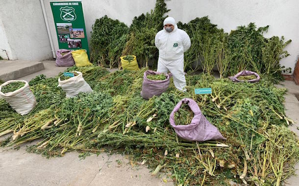 Decomisan 69 kilos y 310 plantas de marihuana avaluada en 500 millones de pesos