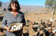 Los huevos de gallina mapuche que sorprenden en el extranjero