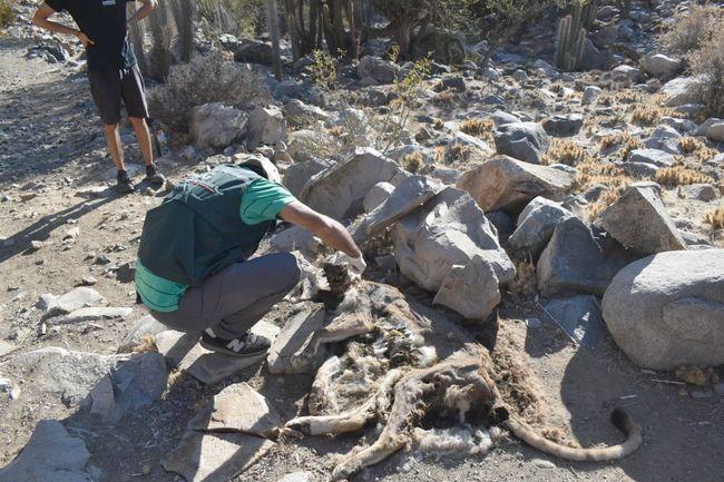 Encuentran puma muerto en sector de Panguecillo en la comuna de Monte Patria