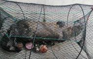 Presentan denuncia por Chungungo ahogado en trampa hechiza en Tongoy