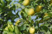 Dan luz verde a 12 establecimientos de la región para iniciar exportaciones de cítricos a China