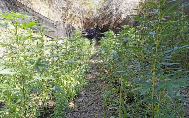 Descubren nueva plantación ilegal de marihuana en Punitaqui