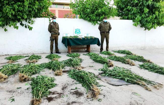 Siguen apareciendo plantaciones de marihuana en la comuna de Punitaqui