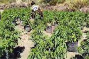 Formalizan a dos imputados investigados por cultivo de más de mil plantas de cannabis