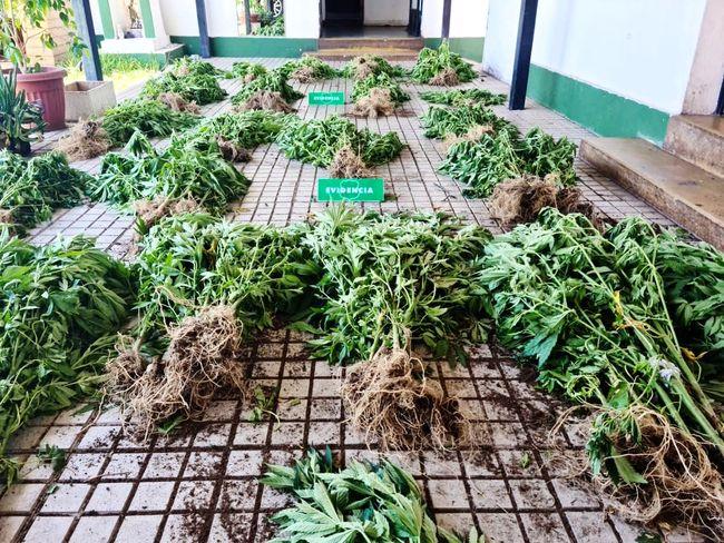En una quebrada de Ramadilla encuentran cultivo con 270 plantas de marihuana