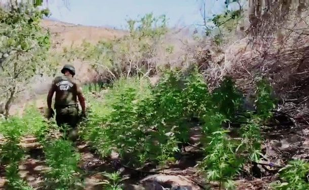 Decomisan más de 3 mil millones de pesos en marihuana cultivada en corrales artesanales