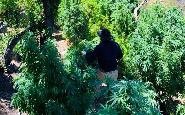 3600 plantas de marihuana decomisan en tres operativos policiales