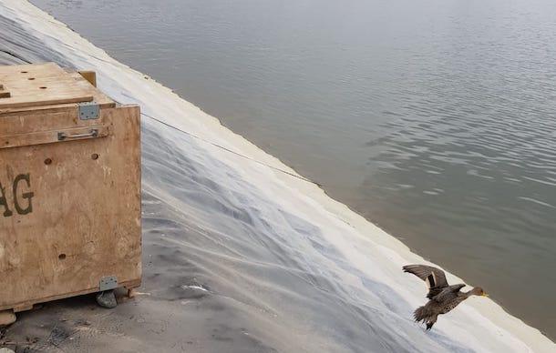Dos Patos Jergones Grande Fueron Rescatados Y Liberados Por El SAG En Ovalle